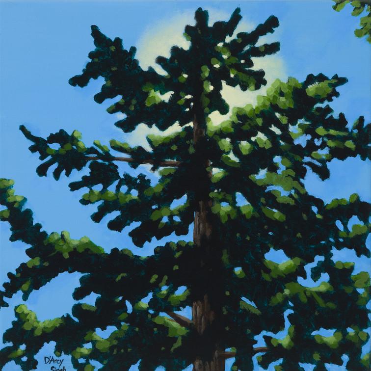 Sun and Pine 1