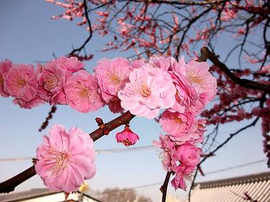Kyoto...cherry blossoms.jpg