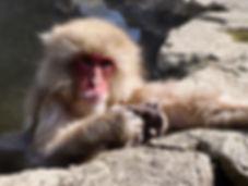 Snow Monkey.jpg