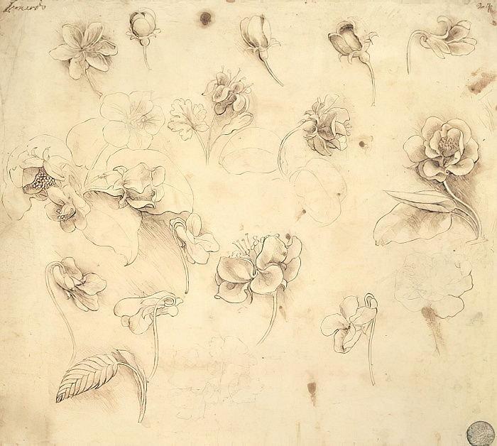 Leonardo da Vinci - Study of the Flowers