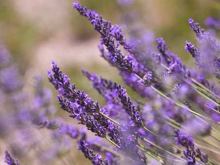 How to Essential: Lavender