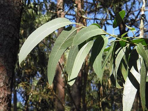 Eucalyptus - 15 mL