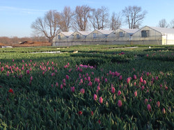 6 Inch Tulips in field