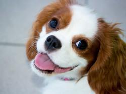 Companion Dog Group