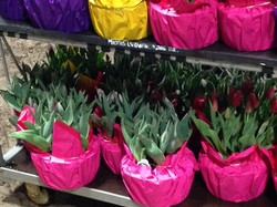 10 inch Tulips in Mylar 2