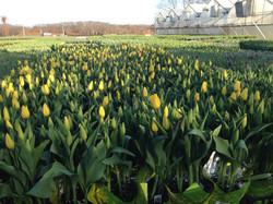 6 inch Yellow Tulip in field