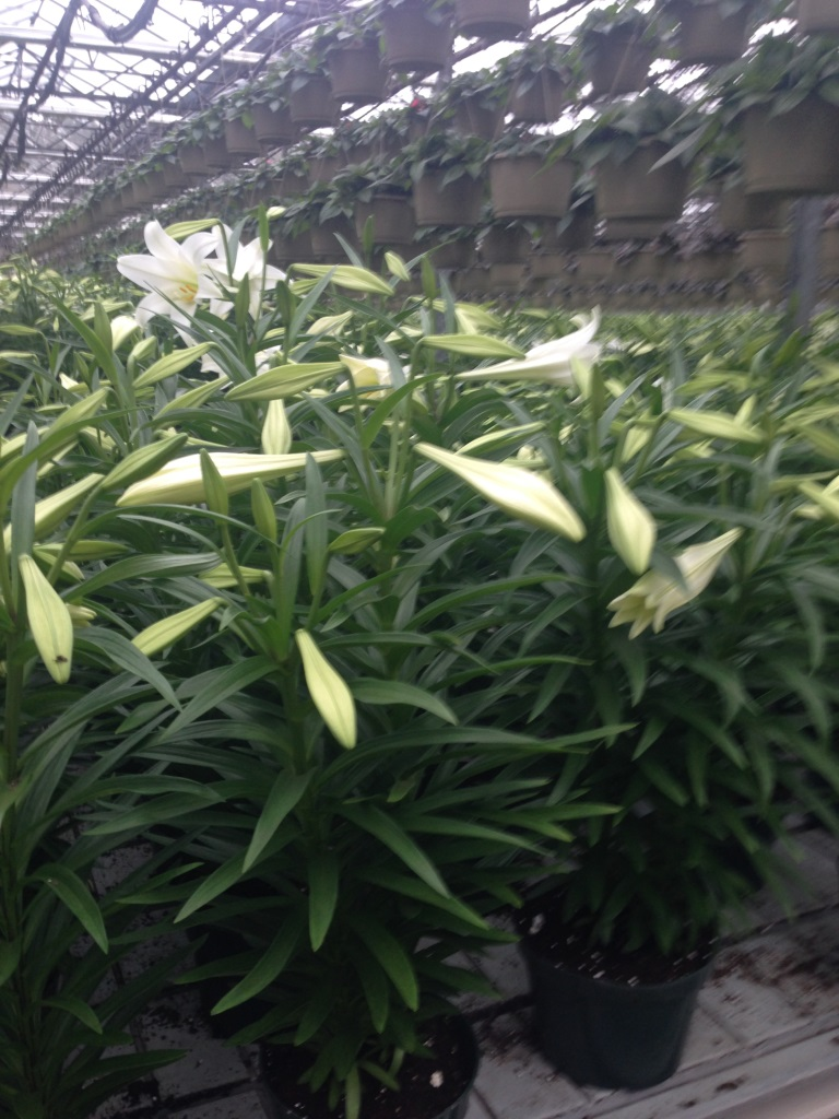 8 inch Easter Lily 2015