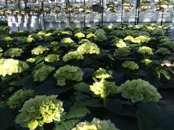 10 inch White Hydrangeas