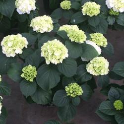 10 inch White Hydrangeas 2
