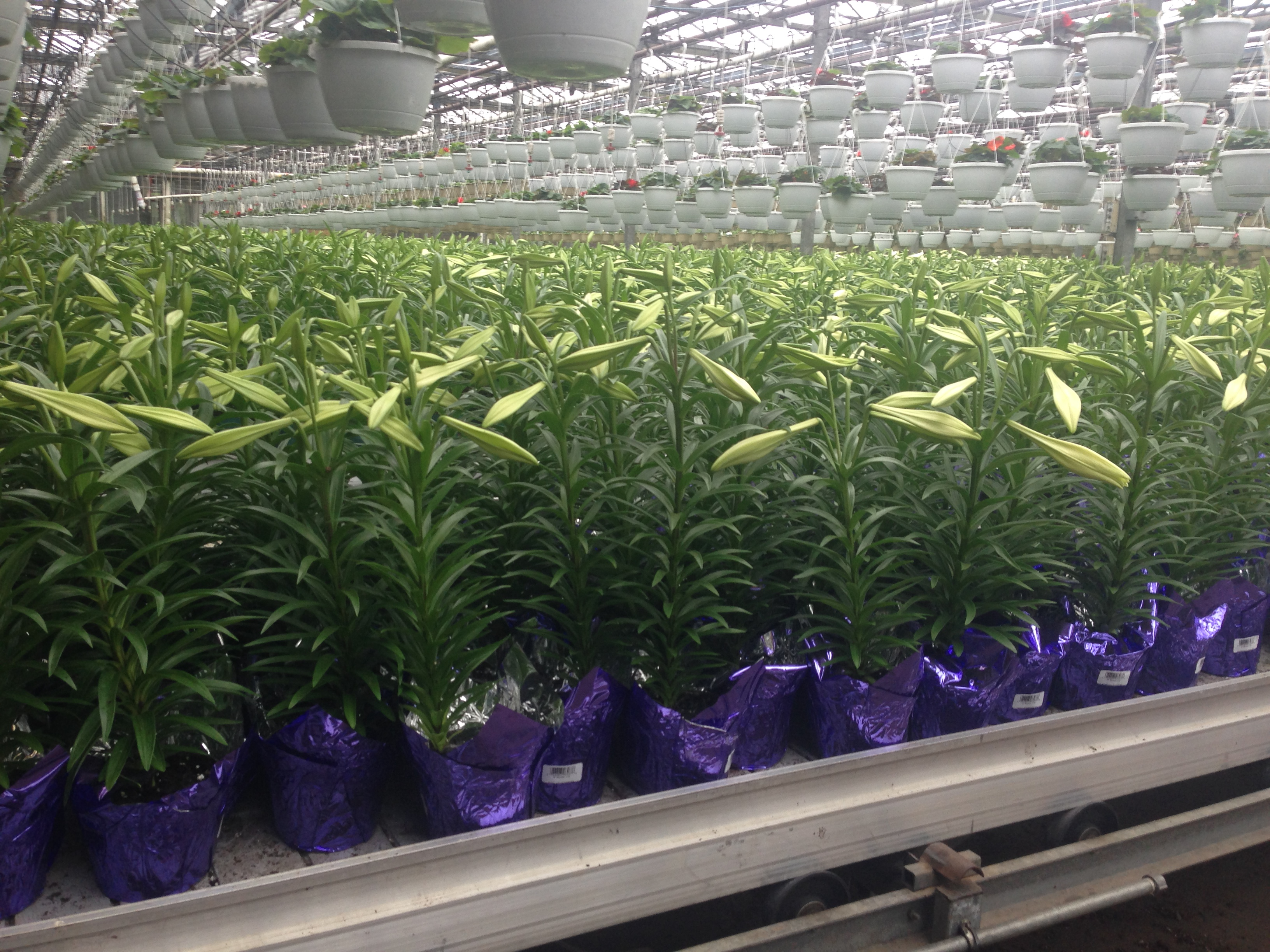 Lilies ready for shipping