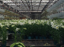 """6"""" Easter Lilies"""