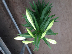 Easter Lily with 7 blooms