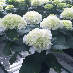 6 inch Hydrangea