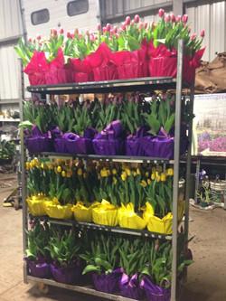 10 inch Tulips in Mylar