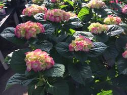 10 inch Pink Hydrangea