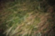 seedy-grass.jpg
