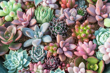 Group of Kalanchoe and succulent plants
