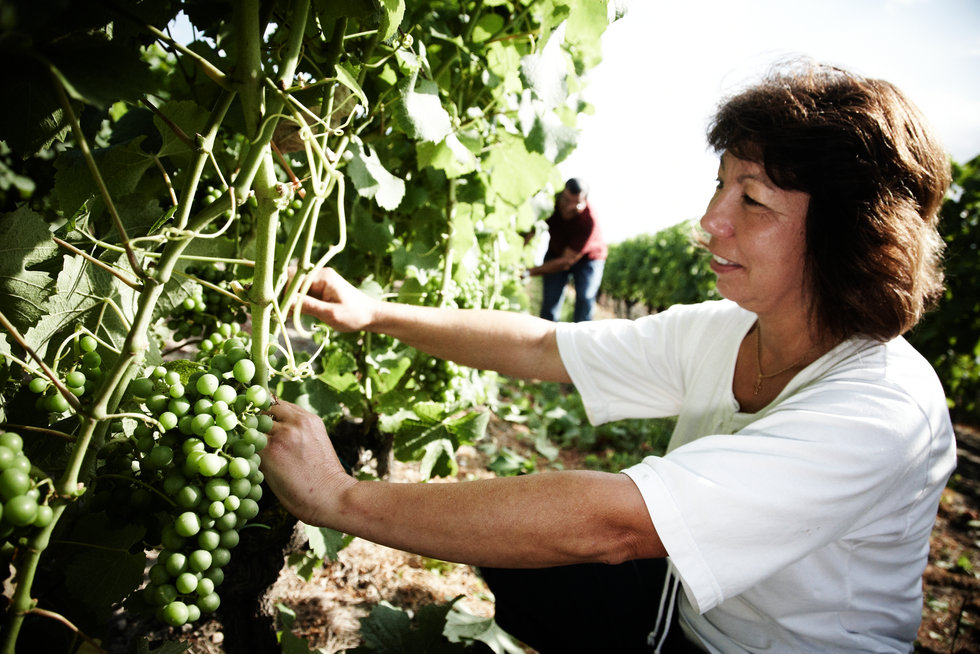 Effeuillage manuel des jeunes vignes