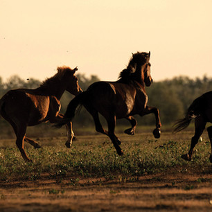 Caii de la Letea