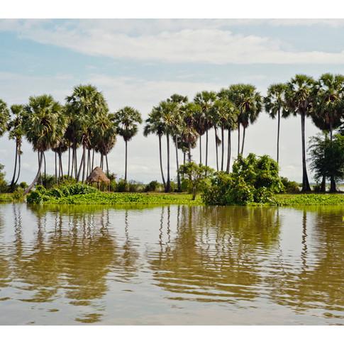 Sugar Palms, Cambodia.