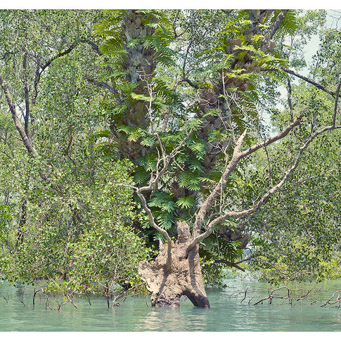 Great Egrets on the wing.  Mangrove Forest.  Phang Nga Bay.  Phuket. Thailand.