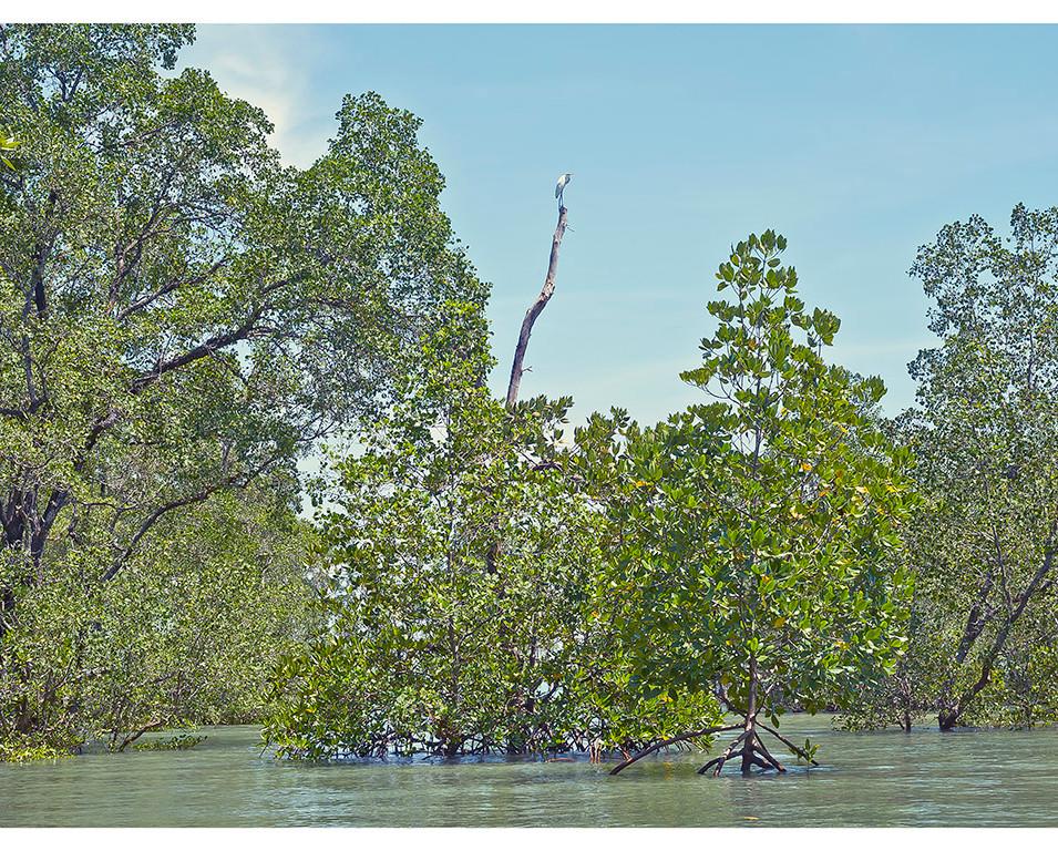 Littel Egret and Mangrove Forest