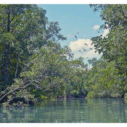 Nordmanns Greenshanks and Mangrove Forest