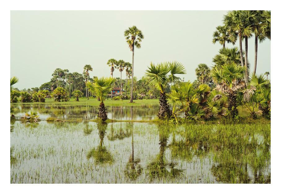 Paddy Fields and Sugar Palms, Siem Reap, Cambodia
