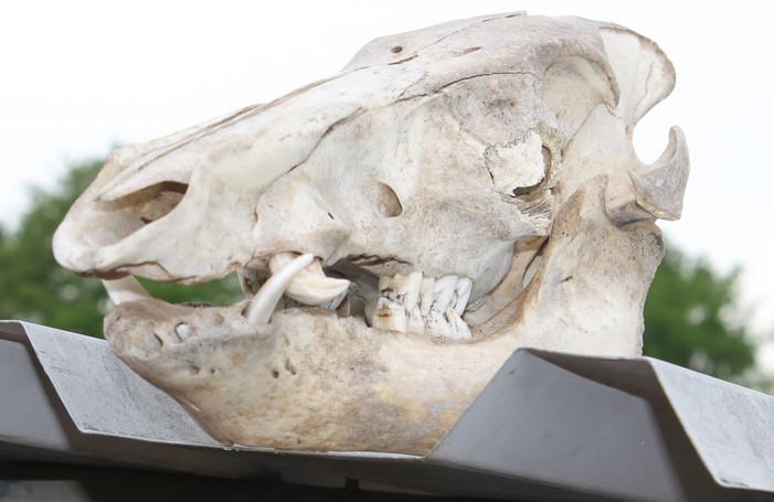 Wildschwein Kopf.JPG