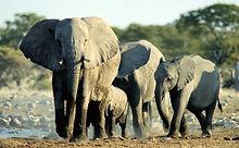 Elephants in Uganda.