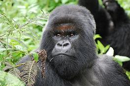 Gorilla Trekking Bwindi Forest - Havy Tours