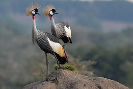 A grey crowned crane Our national bird.j