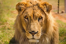 lion-supplied-by-four-paws.jpeg