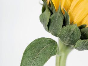 Mayonnaise mit Sonnenblumenöl