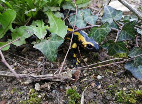 Une salamandre à mes pieds !