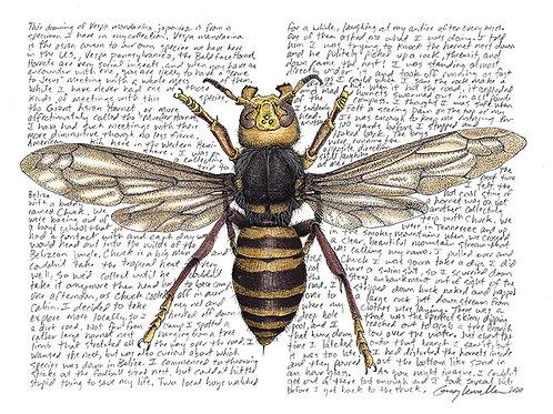 Vespa mandarina japonica, the Murder Hornet, Limited Edition Print
