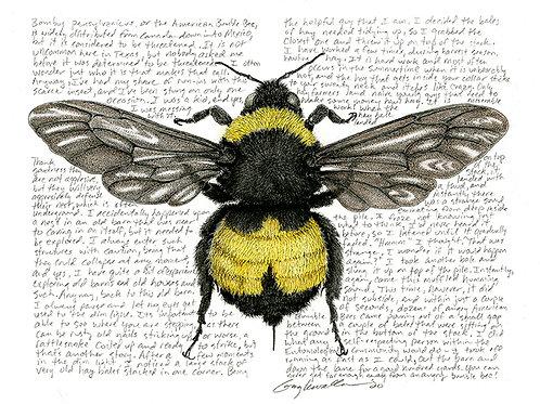 Bombus pensylvanicaus, the Bumble Bee, Original Drawing
