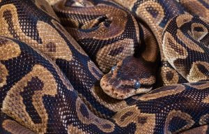 BURMESE PYTHONS IN YOUR BACKYARD