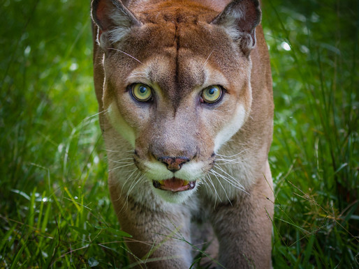 The Convoluted Family Tree of the Florida Panther
