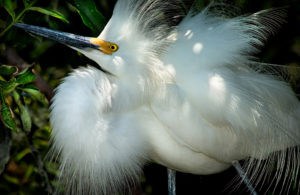 """Snowy"" Animals of the Everglades"