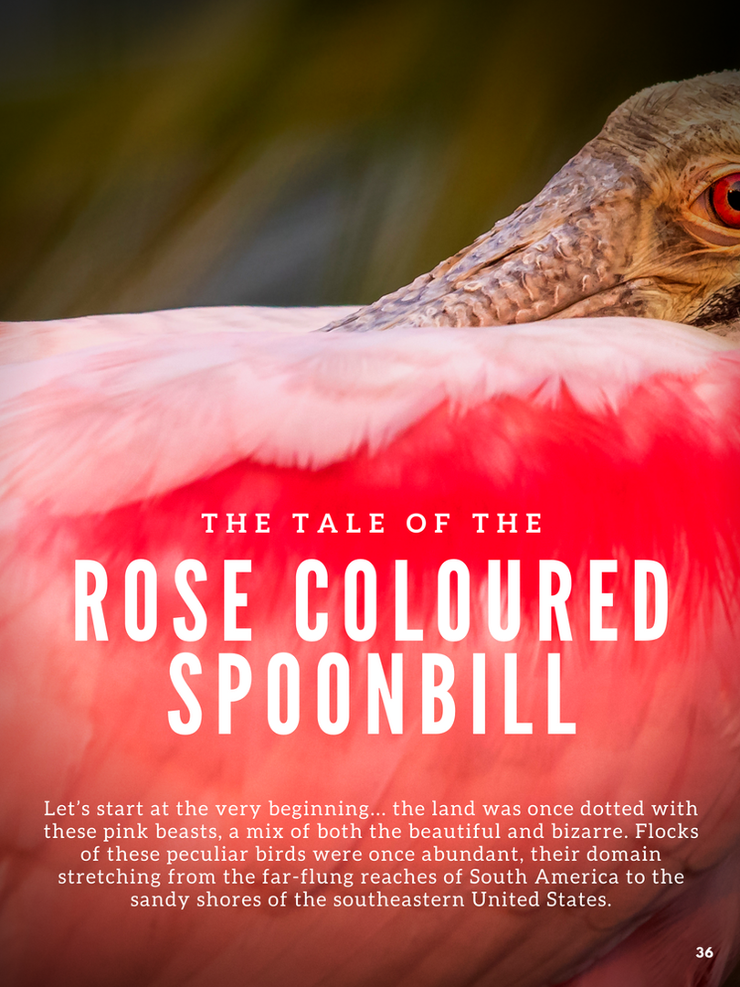 Rose Colored SpoonBill