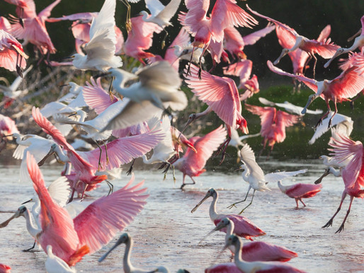 THE TALE OF THE ROSE COLORED SPOONBILL