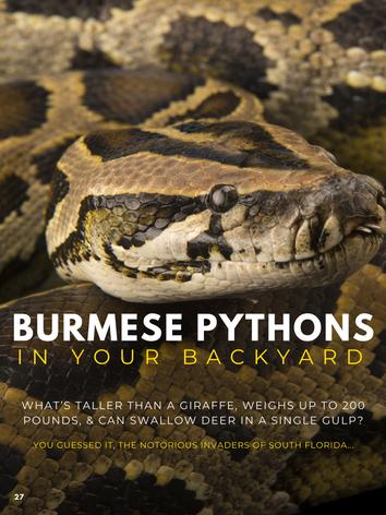 Burmese Pythons In Your Back Yard