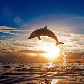 beautiful dolphin leaping jumping from s