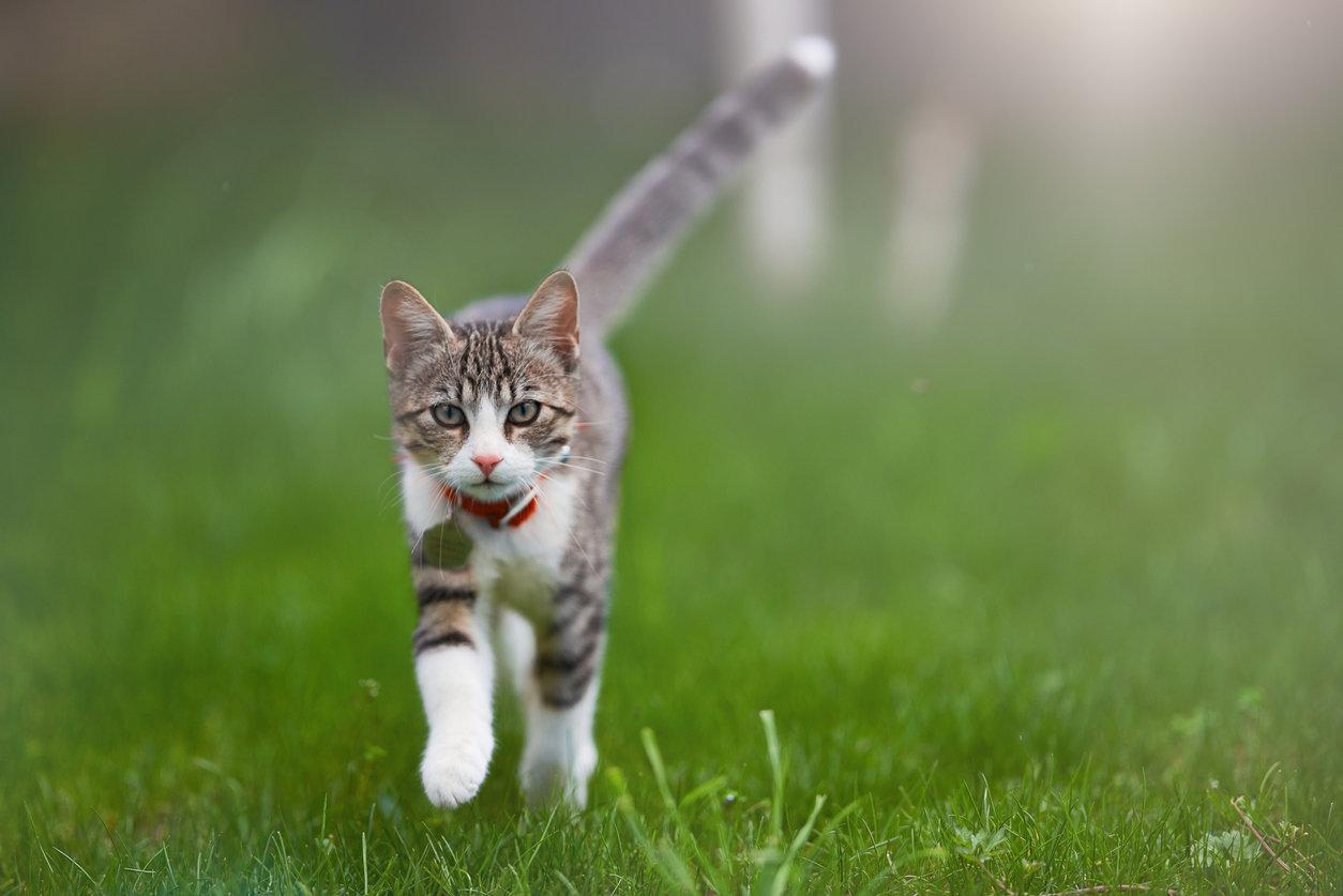 Cat - Spay (Female)