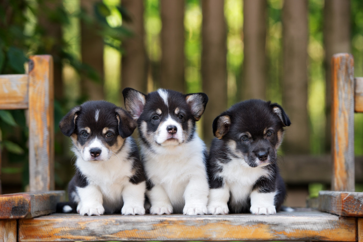 Vaccines - Puppy Litter Rate*