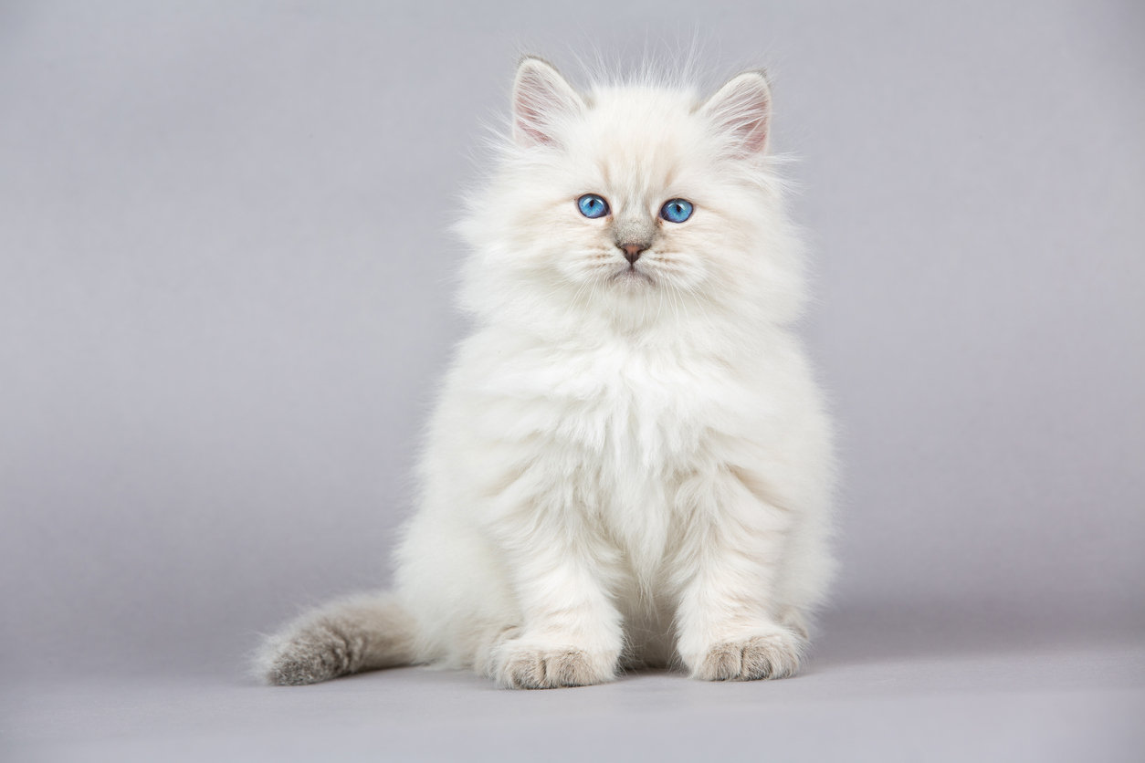 Vaccines - Adult Cat/Complete