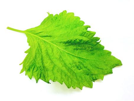 Perilla Leaf