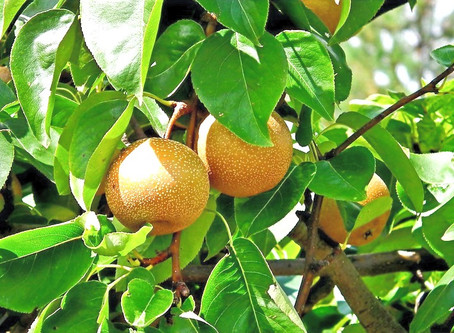 Food as Medicine: Asian Pear