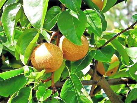 Food as Medicine: Asian Pear